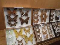 Най-големите и красиви пеперуди гостуват в Природонаучния музей